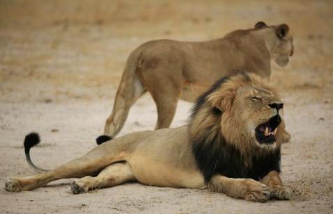 Cecil, el leon africano asesinado por Walter Palmer class=