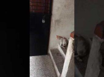 Así llaman a la puerta los gatos